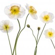 White Alpine poppy, Papaver alpinum, in front of white background — Stock Photo #10902132
