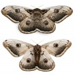 The largest European Moth, the Giant Peacock Moth, Saturnia pyri, in front of white background - Stock Photo