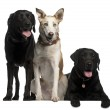 Labrador Retrievers, 7 and 8 years old and a Podenco Canario, 4 — Stock Photo #10902418