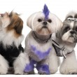 Group of dressed and groomed Shih-tzu's in front of white background — Stock Photo #10902556