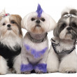 Three Shih Tzus dressed up, 2 years old, 5 months old, and 6 yea - Stock Photo