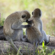 Vervet Monkeys, Chlorocebus pygerythrus, in Serengeti National P - Stock Photo