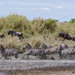 Zebra crossing a river in Serengeti National Park, Tanzania, Afr — Stock Photo