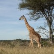 Giraffe at the Serengeti National Park, Tanzania, Africa — Stok fotoğraf