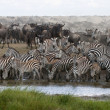 Zebras drinking at the Serengeti National Park, Tanzania, Africa - Stock Photo