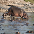 Stock Photo: Hippo at Serengeti National Park, Tanzania, Africa