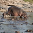 Hippo at the Serengeti National Park, Tanzania, Africa - Stock Photo