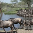 Stock Photo: Herds of wildebeest at Serengeti National Park, Tanzania, Africa