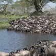Herds of wildebeest at the Serengeti National Park, Tanzania, Africa — Stock Photo