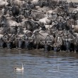 Herds of wildebeest and bird at the Serengeti National Park, Tanzania, Africa — Stock Photo