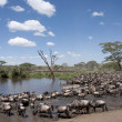 Zebras and Wildebeest at the Serengeti National Park, Tanzania, Africa - Stock Photo