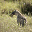 Hyena in Serengeti National Park, Tanzania, Africa - Stock Photo
