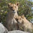 Lioness and lion cubs in Serengeti National Park, Tanzania, Africa — Stock Photo