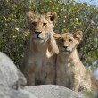 Lioness and lion cubs in Serengeti National Park, Tanzania, Africa — Stock Photo #10902928