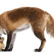 Red Fox, Vulpes vulpes, 4 years old, playing with a domestic duckling in front of white background — Stock Photo