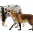 Red Fox, Vulpes vulpes, 4 years old, playing with Australian Shepherd dog in front of white background — Stock Photo #10903003