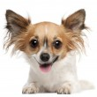 Chihuahua, 2 years old, lying in front of white background — Stock Photo #10903079