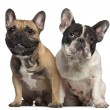 French Bulldog, 2 years old, and French Bulldog, 1 year old, sitting in front of white background — Stock Photo #10903145