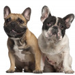 Stock Photo: French Bulldog, 2 years old, and French Bulldog, 1 year old, sitting in front of white background