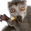 Close-up of Crowned lemur, Eulemur coronatus, 2 years old, in front of white background - Stock Photo