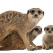 Meerkat or Suricate, Suricata suricatta, mother and her babies, in front of white background - Stock Photo