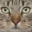 Stock Photo: Close-up of EuropeShorthair cat, 9 months old