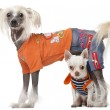 Dressed Chihuahua and Chinese Crested dog in front of white background — Stock Photo #10903559