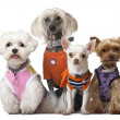 Group of dressed dogs in front of white background — Stock Photo #10903565