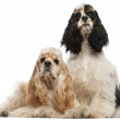 American Cocker Spaniel, 1 year old, and American Cocker Spaniel puppy, 6 months old, in front of white background — Stock Photo #10903615