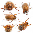 Stock Photo: 5 summer chafer or Europejune beetles, Amphimallon solstitiale, in front of white background