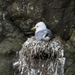Seagull in nest on Mykines, Faroe Islands - Stockfoto
