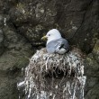 Stock Photo: Seagull in nest on Mykines, Faroe Islands