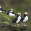 Atlantic Puffin or Common Puffin, Fratercula arctica, on Mykines, Faroe Islands — Stock Photo #10903848