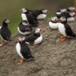 Atlantic Puffin or Common Puffin, Fratercula arctica, on Mykines, Faroe Islands - 图库照片