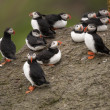 Atlantic Puffin or Common Puffin, Fratercula arctica, on Mykines, Faroe Islands - Foto de Stock