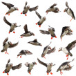 Collection of Atlantic Puffin or Common Puffin, Fratercula arctica, in flight in front of white background — Photo