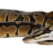 Two headed Royal Python or Ball Python, Python Regius, 1 year old, in front of white background — Stock Photo