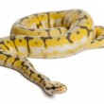Female Killerbee Royal python, ball python, Python regius, 1 year old, in front of white background — Stock Photo