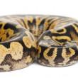 Female Pastel calico Python, Royal python or ball python, Python regius, in front of white background — Stock Photo