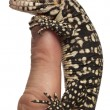 Blue Tegu, Tupinambis merianae, perched on a finger in front of white background — Stock Photo