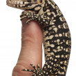 Stock Photo: Blue Tegu, Tupinambis merianae, perched on a finger in front of white background