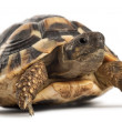 Stock Photo: Young Hermann's tortoise, Testudo hermanni, in front of white background