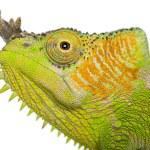 Close-up of Four-horned Chameleon, Chamaeleo quadricornis, in front of white background — Stock Photo