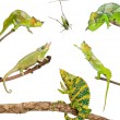 Chameleons reaching for grasshopper in front of white background — Stock Photo