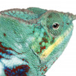 Stock Photo: Close-up of Panther Chameleon Nosy Be, Furcifer pardalis, in front of white background