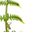 Woodland Grasshoppers, Omocestus rufipes, on fern in front of white background — Stock Photo