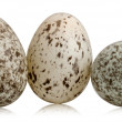 Three House Sparrow eggs, Passer domesticus, in front of white background — Foto de Stock