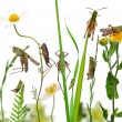 Rural composition of Locust and grasshopper on flowers, grass an — Stock Photo