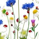 Постер, плакат: Seven spot ladybird or seven spot ladybugs on daisies cornflowe