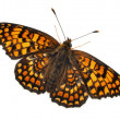 Knapweed Fritillary, Melitaea phoebe, in front of white background — Stock Photo